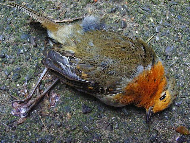 A dead Robin