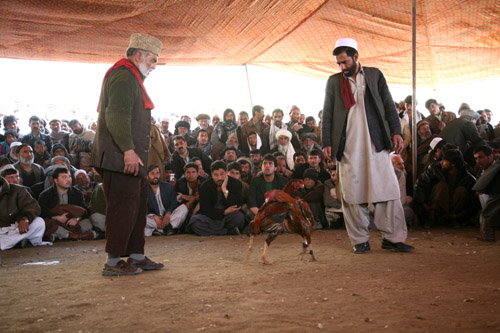 Cock fighting in Afghanistan