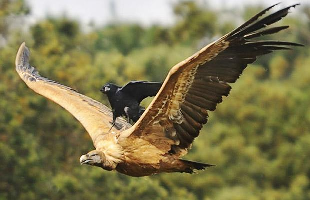 Crow rides the vultures