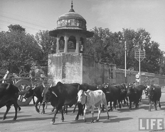 Lahore and cows ever there