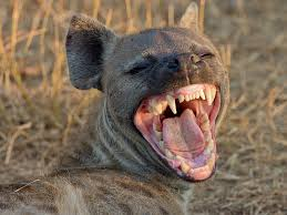 Laughing hyenas